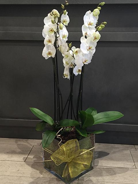 Orquídea Siena