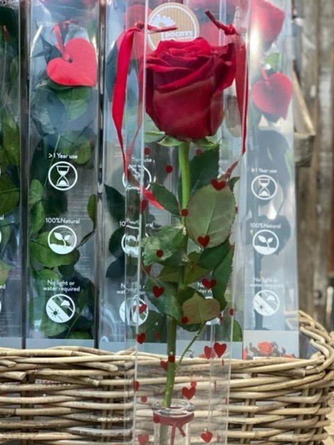 Rosa Roja de tallo largo con violetero de cristal